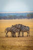 A dazzle, a.k.a. herd, of zebras stand in a protective circle in the Serengeti.