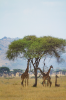 Giraffes find refuge from the sun under a tree in the Serengeti National Park.
