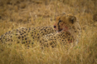 A cheetah lounges after dinner in Serengeti National Park.