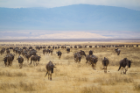"""They said it's the size of Buffalo,"" says Cifra, about Ngorongoro Crater. But at 102 square miles, the caldera—a depression formed by volcanic activity—dwarfs the Queen City, which measures in at roughly 50 square miles."