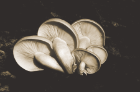 Mushroom specimens included in the Miles teaching archive. Photo: courtesy of University Archives