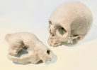 Paper casts of primate skulls, Artists-in-Residence Sun Young and Jack Tseng.