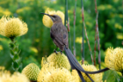 A Cape Sugarbird pauses in the fynbos, a belt of shrubland in South Africa's Cape Floristic Region. Photo: Adam Wilson