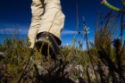 Researcher Adam Wilson walks in the fynbos. Photo: Adam Wilson