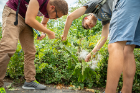 Students Mohammad Khan and Michael Streicher look for different life stages (instars) of monarch larvae on the common milkweed plants in Riverside Park.