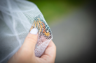 Cassandra Rivier grasps the wings of a monarch butterfly. Holding the wings firmly helps to prevent damage, which can occur if the insects fly inside the nets.