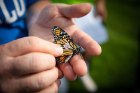 The stickers are then recovered from the butterflies when they arrive at their overwintering grounds in central Mexico, or later on the next spring from butterflies that make it back to the United States.