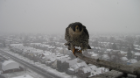 falcon winter