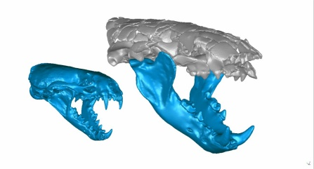 A digital reconstruction of two otter skulls side by side, with the one on the left being much smaller.