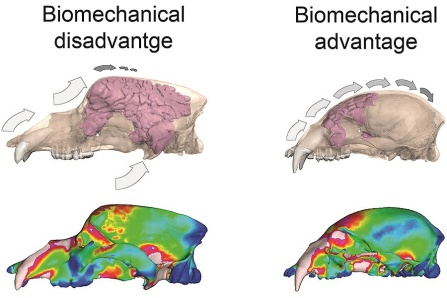 Image shwoing evolutionary advantage of the cave bear's sinuses.