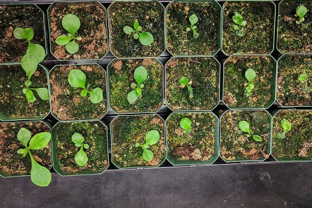 Many small containers holding Digitalis lanata seedlings.