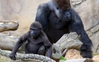Gorilla's death spurs larger issues