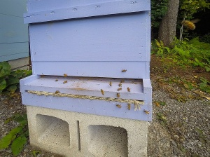 Bees flying around one hive.