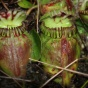 A close-up of the pitchers of Cephalotus follicularis, the Australian pitcher plant.