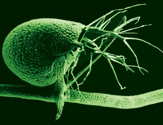 Scanning electron micrograph of the humped bladderwort plant