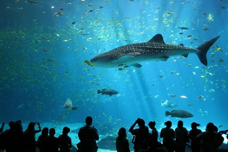 One of two resident male whale sharks in the Georgia Aquarium in the United States.