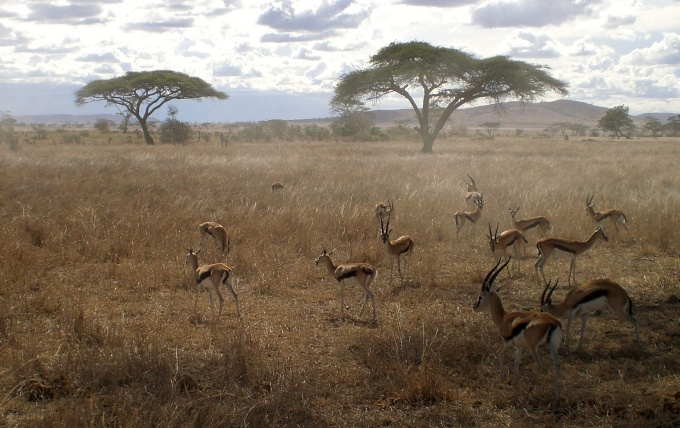 Gazelles in the Serengeti Game Perserve in Tanzania