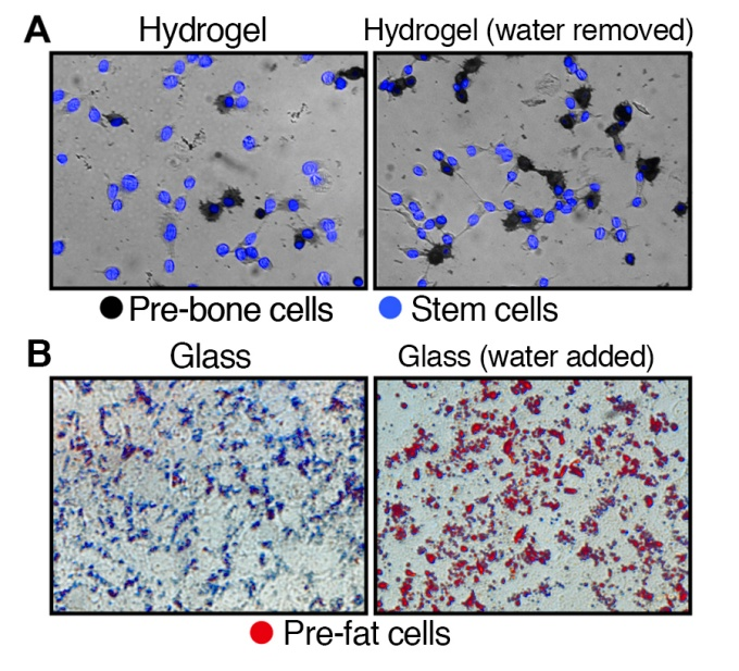 Top images (A): Illustrates the development of stem cells on hydrogel, a soft substrate, to pre-bone cells after the removal of water. Bottom images (B): Depicts the development of stem cells on glass, a hard substrate, to pre-fat cells after the addition of water.
