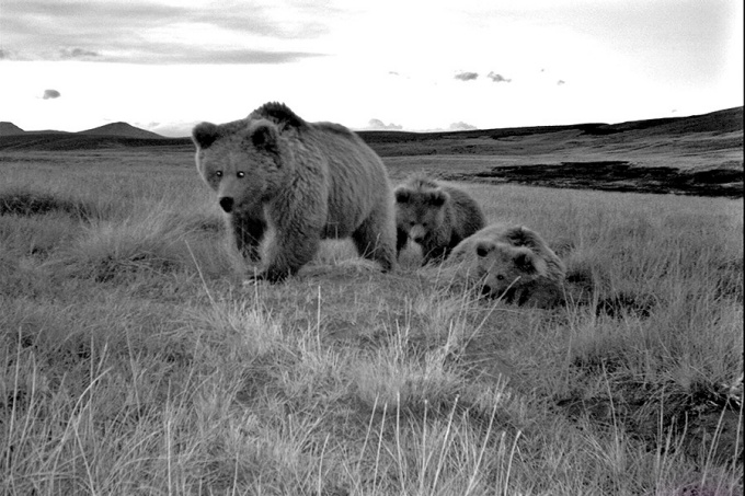 A family of Himalayan brown bears, including a female and two cubs, from a camera trap study of wild bears in northern Pakistan.