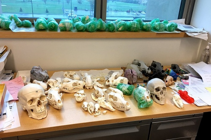 A shelf in Jack Tseng's office holds a collection of various model human skulls and animal skulls.