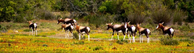 A herd of Bontebok in the fynbos, a belt of shrubland in South Africa's Cape Floristic Region.