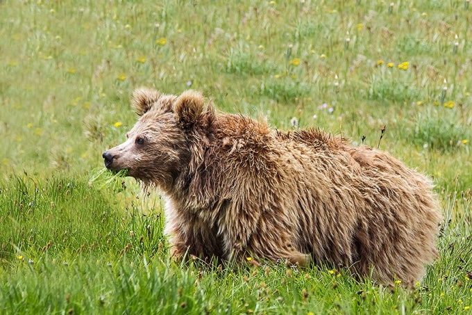 Bear standing in tall grasses.