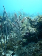 Damaged gorgonian corals on a reef on St. John, U.S. Virgin Islands. The wispy, white strands clinging to the edges of the coral are harmful cyanobacteria, which have grown on injured areas.