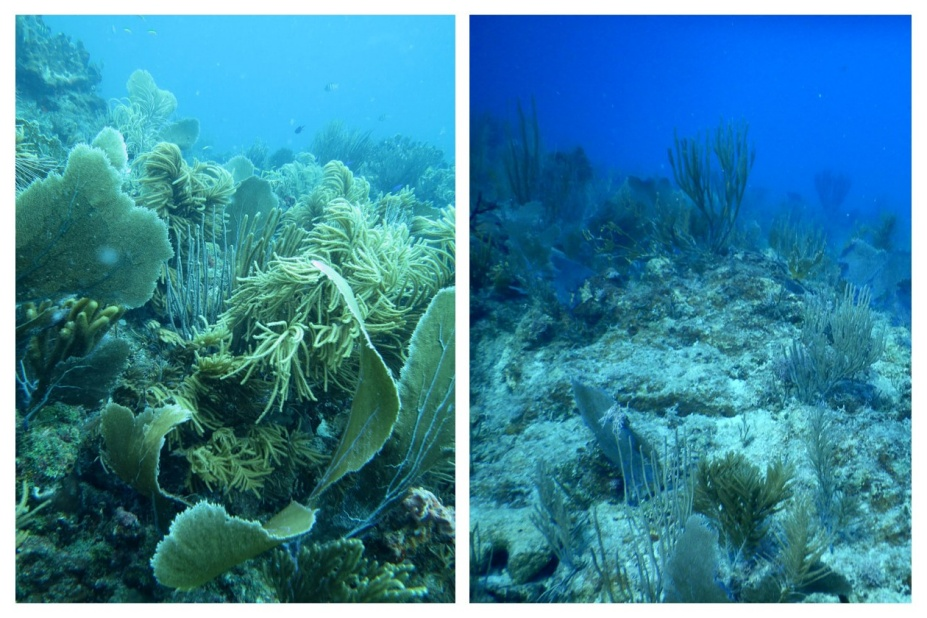 Before and after views of a coral reef off the coast of St. John, U.S. Virgin Islands. The reef, vibrant and full of life, is pictured in 2013 and in 2017 after hurricanes Maria and Irma tore through the region. The reef is now more sparsely populated, with many coral colonies either severely damaged or swept away.
