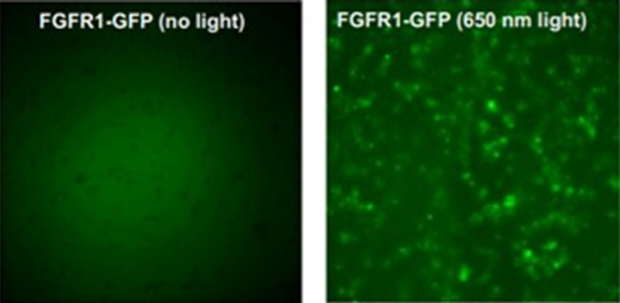 The gene FGFR1 in its natural state and the gene when exposed to laser light, which causes the gene to activate and deactivate.