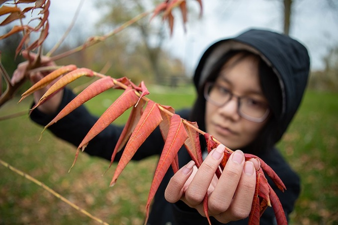 Trang Le examines a a staghorn sumac tree.