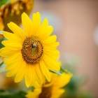A bee visits a sunflower near the Richmond dormitories.