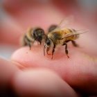 A few bees gently resting on the open palm of a human hand.