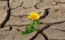 Flower growing out of dry, cracked soil.
