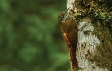 The montane woodcreeper has been tracked by scientists using cloud data.