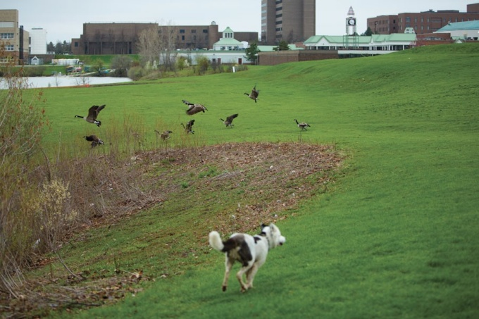 Trained border collies chasing geese.