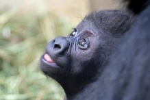 Photo of a baby gorilla