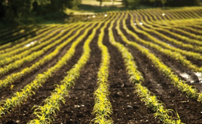 a plowed field with fresh sprouted vegetables