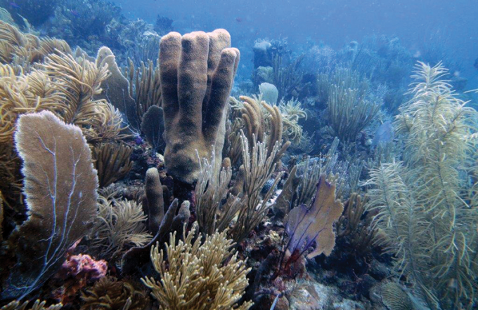 Pictured are gorgonian coral-dominated coral reef communities at St. John, U.S. Virgin Islands.
