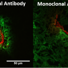 Competitive Inhibition Increases Monoclonal Antibody Distribution in Solid Tumors .