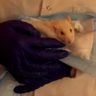 This is a picture of one of the Sprague-Dawley rats that we used for this study.