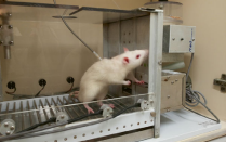 Self-administration involves training a rat to respond for intravenous drugs like cocaine. .