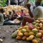 Cocoa farming in Nigeria.