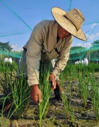 Rice Trial, CIAT, Neil Palmer, 2010, Modified