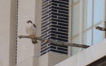 falcon perched outside McKay Heating Plant